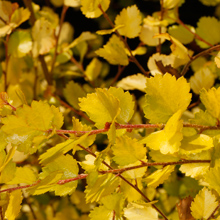Betula nana 'Golden Treasure' PBR